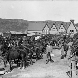 Special Mounted Police horses at Alexandra Barracks, Mount Cook, Wellington, 1913.