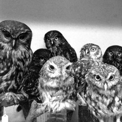 Moreporks (Bird Skins Room # 2), Taranaki St, Wellington, 3 October 1995.