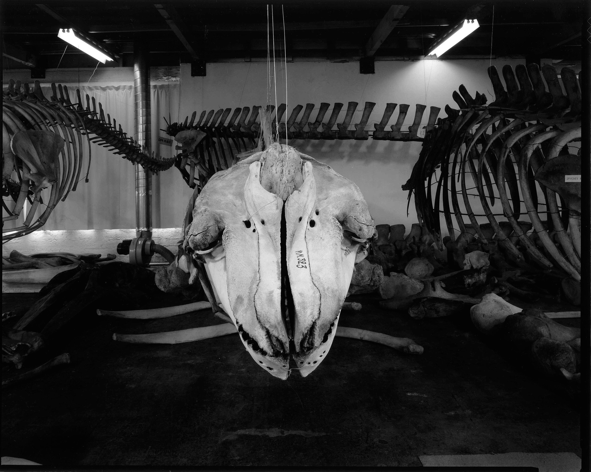 Orca Skull, Taranaki St, Wellington 4 October 1995.